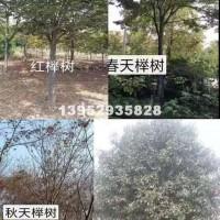 镇江精品榉树