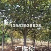 镇江红榉树3-20公分