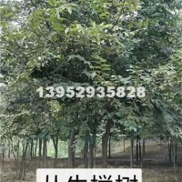 镇江丛生榉树最新货源,江苏榉树