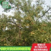山东泰安雪枣树苗、新疆的红枣树苗