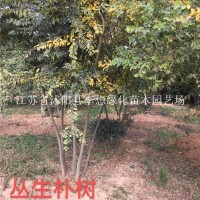 宿迁供应8-15公分朴树 丛生朴树