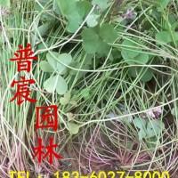 宿迁江苏普宸常年供应优质红花酢酱草...