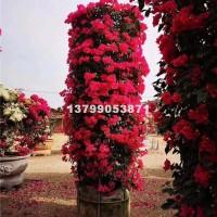 漳州三角梅柱  价格优惠 优质货源