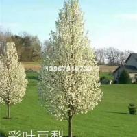 绍兴出售优质彩叶豆梨小苗(克利夫兰...