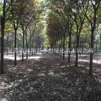 宿迁供应精品榉树 红榉树 12公分