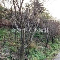 宁波垃圾樱花供应10—20公分垃圾