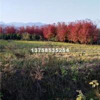 绍兴自家苗圃出售美国红枫,秋火焰1...