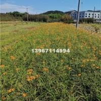 杭州供应常绿萱草地苗  0.4元
