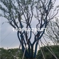 合肥供应丛生朴树 价格优惠  安徽
