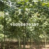 合肥供应优质青桐 树形好 价格优惠