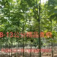 合肥供应青桐 价格便宜 安徽货源