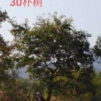 合肥供应【朴树】价格优惠 安徽货源