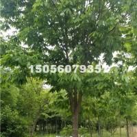合肥供应七叶树 价格优惠 安徽货源