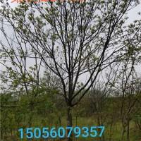 合肥供应8-25的栾树 安徽地区最