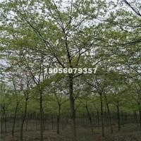 合肥供应朴树 3-35公分 价格优