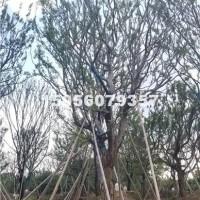 合肥供应朴树3-35公分 的价格优...