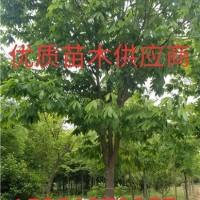 合肥七叶树 安徽七叶树 最便宜