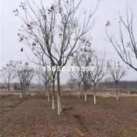 合肥供应栾树
