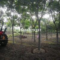 合肥供应栾树8-25公分 价格低 ...