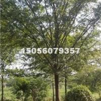 合肥供应榆树 价格优惠 安徽货源
