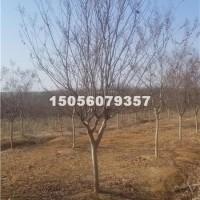 合肥紫薇D4-12公分供应地径4-...