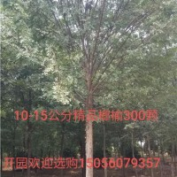合肥供应榆树 价格优惠 树形好 安