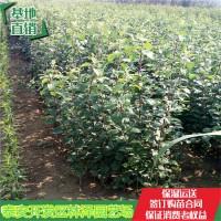 山东泰安红肉苹果苗1公分粗管理技术红肉苹果苗价格