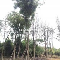 成都供应米径30公分黄连木6500...