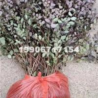 杭州红花檵木