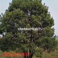 合肥供应丛生香樟40-200公分5