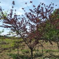 山东泰安7公分红叶碧桃树 8公分红叶碧桃绿化树苗