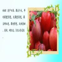 山东泰安风味玫瑰李子树苗、风味玫瑰李子树苗市场价格...