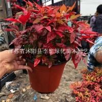 宿迁供应火焰南天竹盆栽精品苗 优质