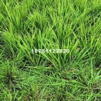 宿迁批发价供应优质麦冬草 地被植物...