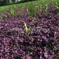 宿迁供应紫叶醡浆草