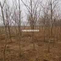 宿迁乌桕树2-12公分粗苗圃直销,...