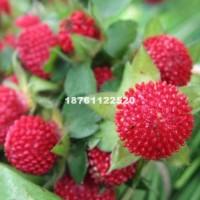 宿迁供应蛇莓 野草莓小苗 价格0....