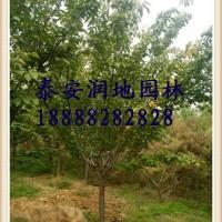 山东泰安供应6公分7公分8公分9公分10公分樱花树...