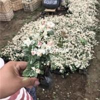 宿迁供应花叶络石 优质地被植物花叶...