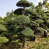 湖北银杏树