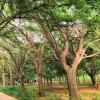 长期供应银杏树,美国红枫,法桐,樱花,枣树等