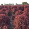 供应各规格湖南红叶石楠、红叶石楠树、红叶石楠球