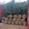 1-4米青仟、红皮云杉, 自家苗圃, 位于伊春