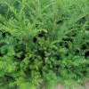 东北红豆杉苗,红豆杉实生苗,种播苗,红豆杉价格