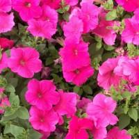 山东时令草花基地,租摆花卉植物,节日开花花卉批发