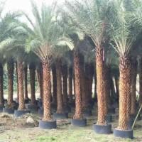 长期特价供应华棕银海枣布迪椰子