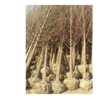 水杉价格,江苏水杉价格,宿迁水杉价格,垂柳,朴树价格