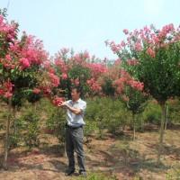 好景园林常年出售各种规格红火箭紫薇苗,