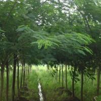 好景园林大量出售1-18公分精品合欢树苗