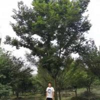 供应25公分榉树价格  苗圃基地